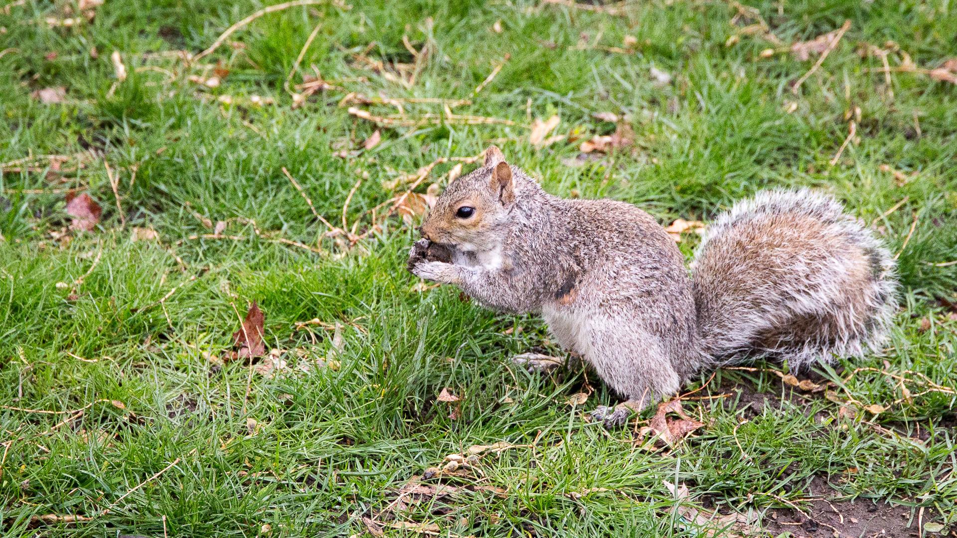 Grauhörnchen im Central Park