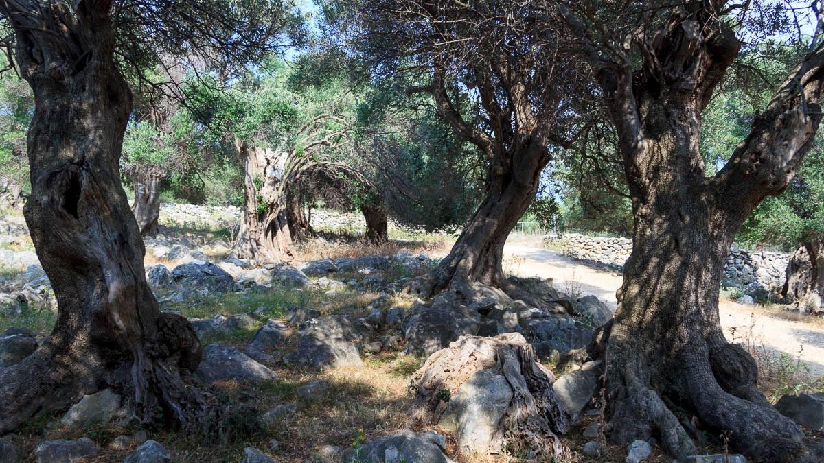 Im Olivenhain von Lun