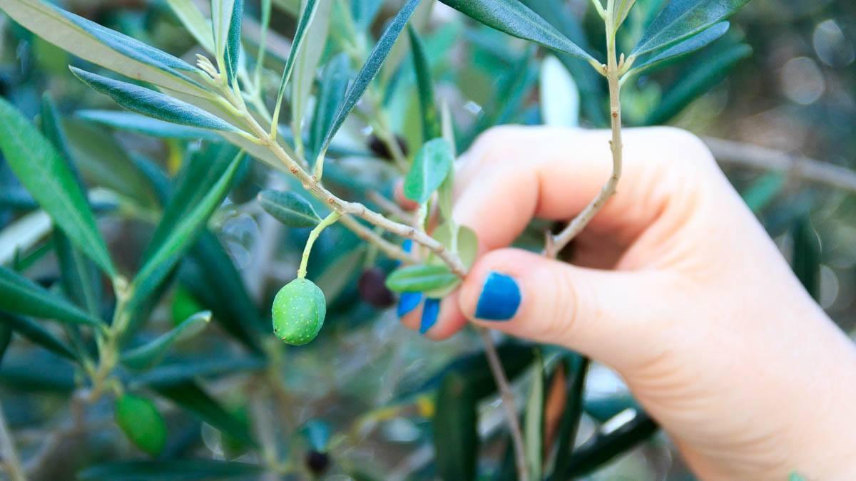 Diese Oliven sind zum Auspressen gedacht