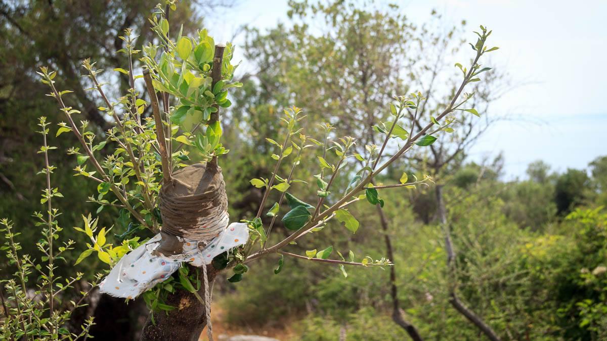 Veredelungsstelle bei einem Olivenbaum