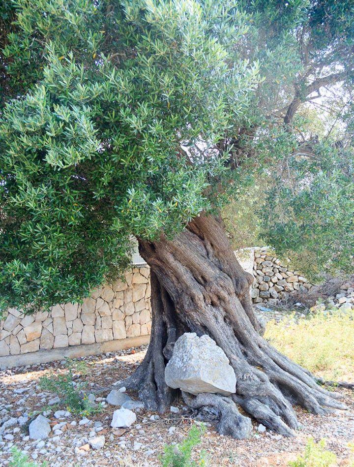 Baum hebt Stein