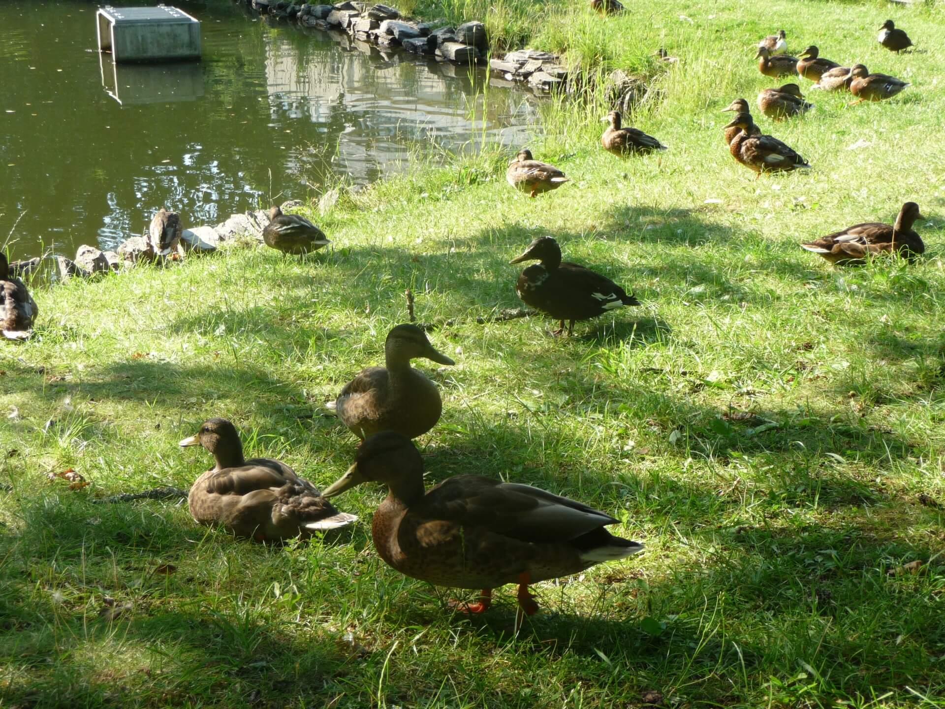 Enten im König-Albert-Park