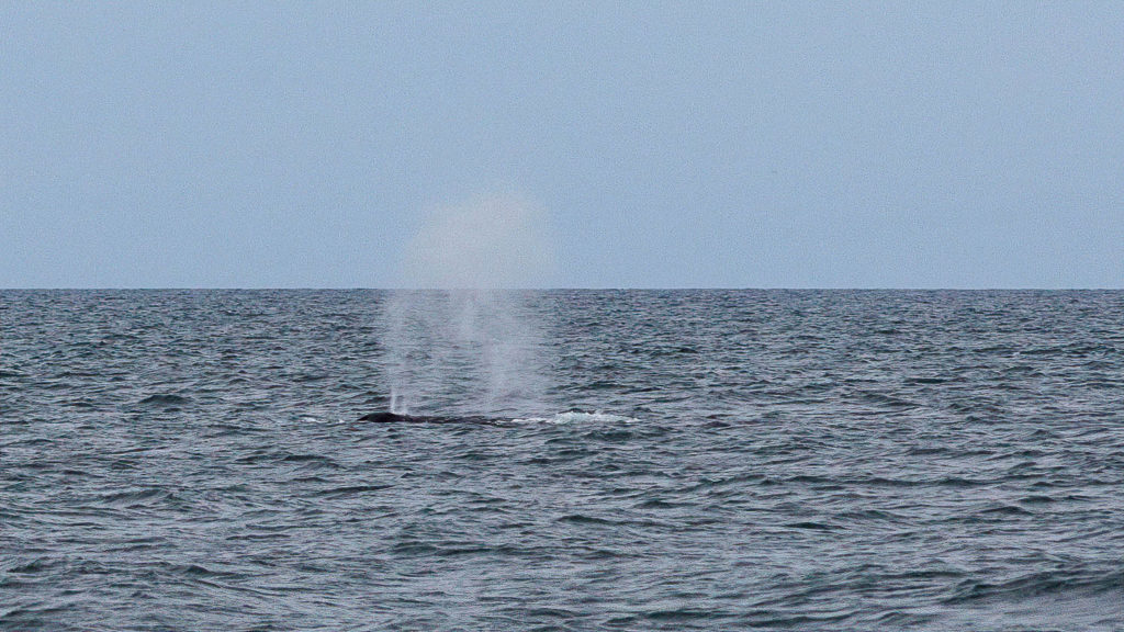 Blas eines Buckelwals