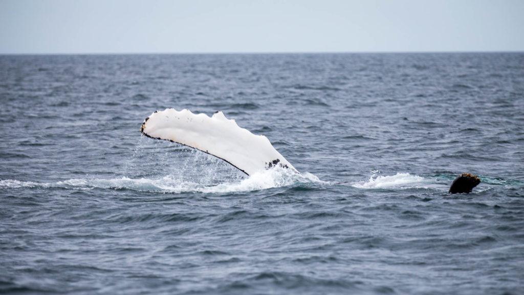 Walfinne