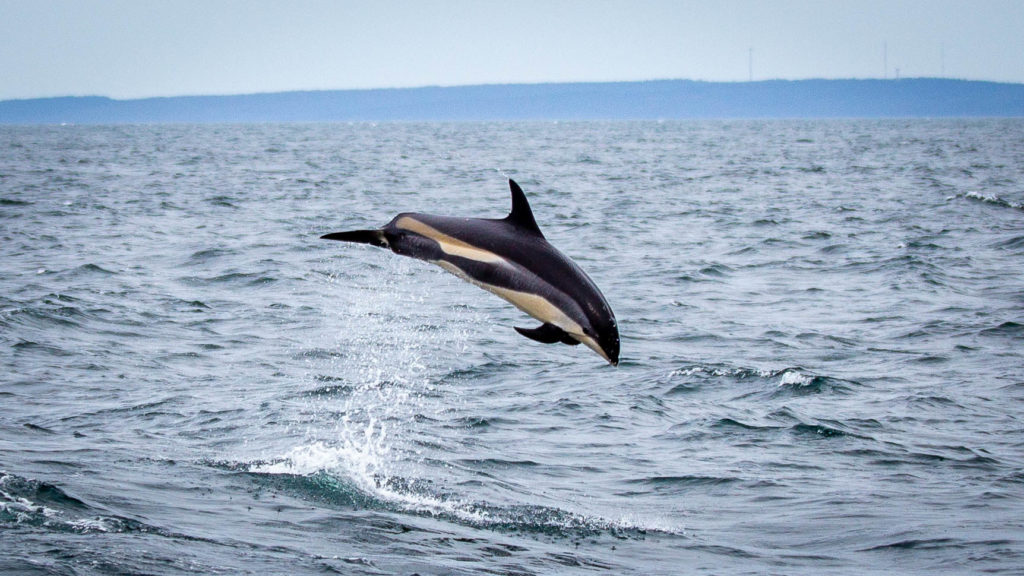 Ein Delfin beim Springen